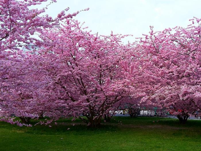 Rosa Blühende Bäume April : meer aus rosa bl ten feels like erfurt ~ Michelbontemps.com Haus und Dekorationen
