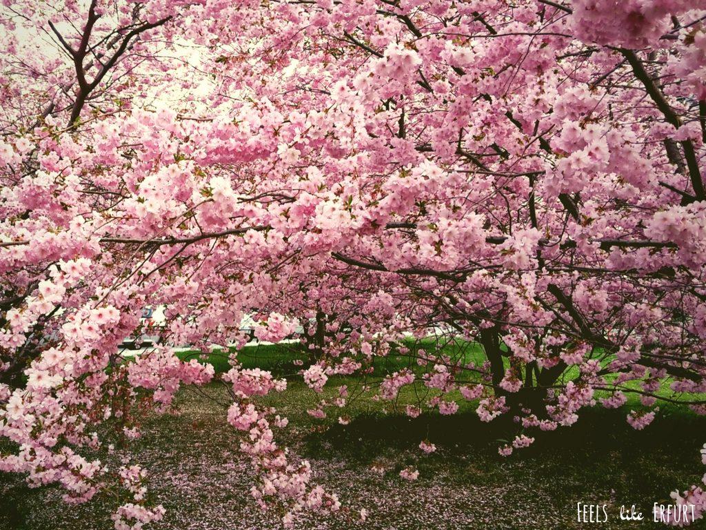 Meer aus rosa Blüten