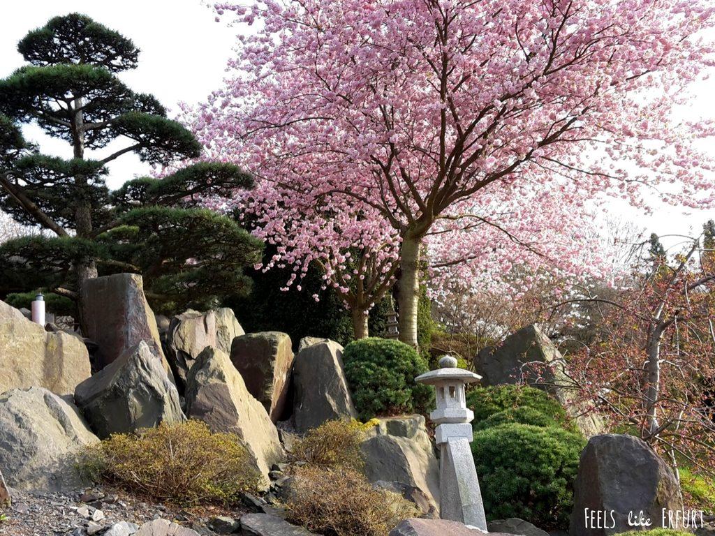 japanischer Garten mit Kirschblüte im egapark Erfurt