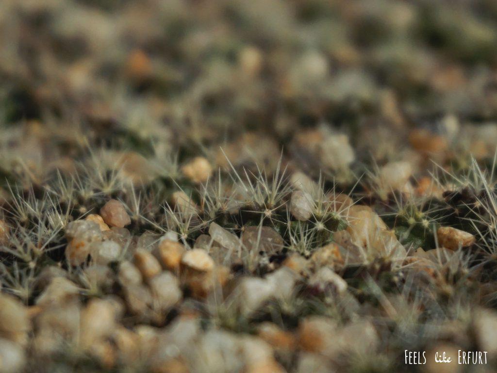 Mini-Kakteen in der ältesten Kakteen-Zucht der Welt
