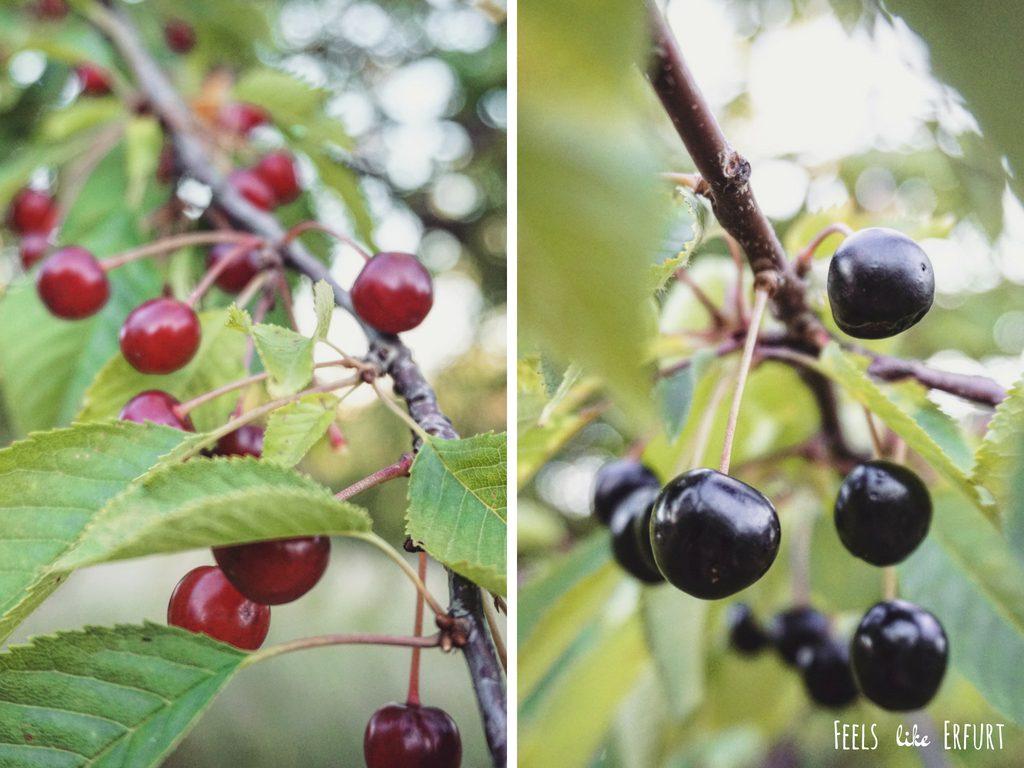 Kirschplantage Erfurt: Die Schwedenschanze