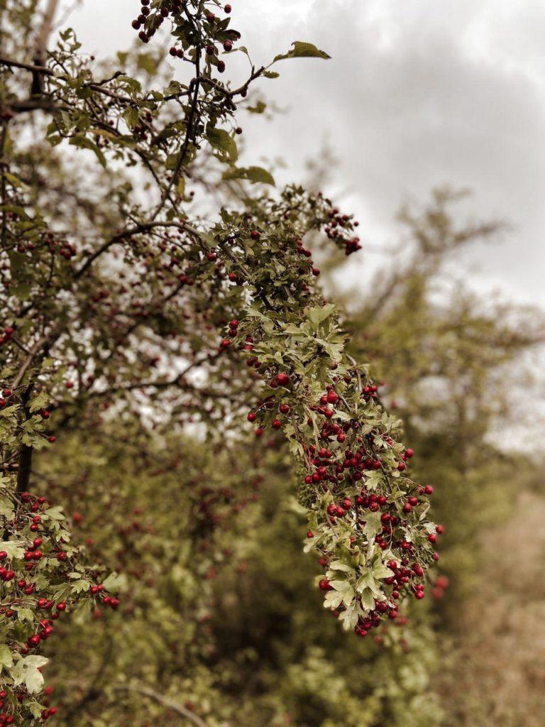 Baum mit Mehlbeeren