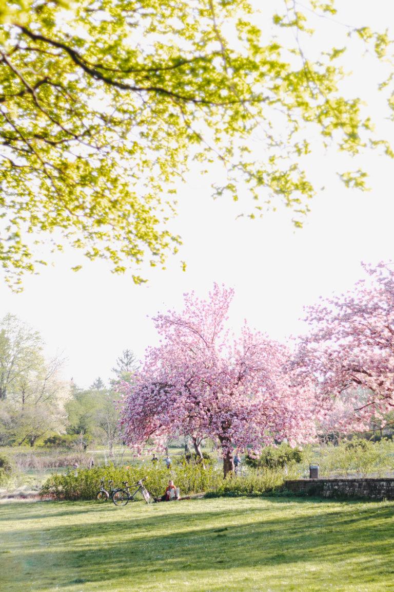 Kirschblüte in Erfurt